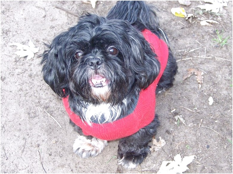 shih tzus for adoption in illinois