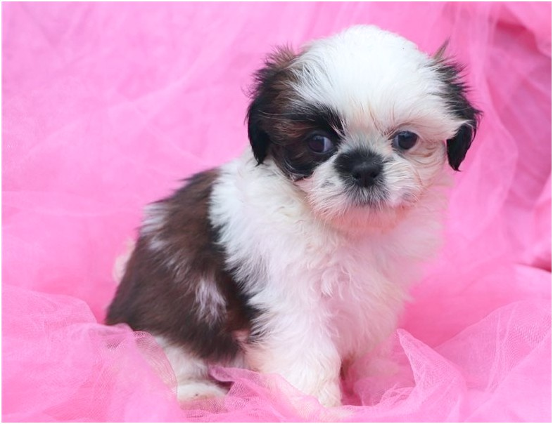 shih tzus for adoption in nc