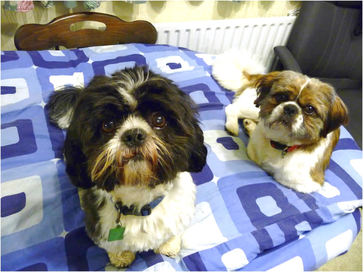shih tzus for adoption near me