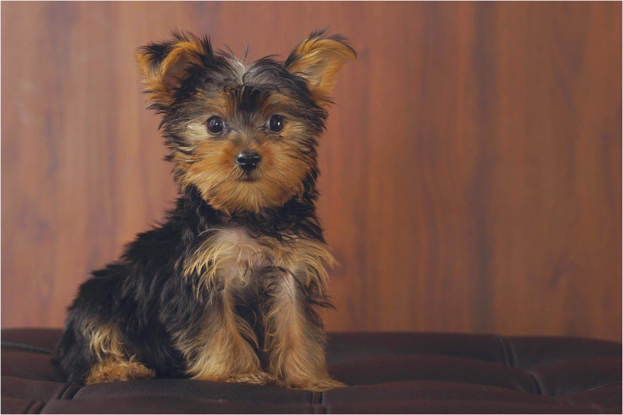 show me a photo of a yorkshire terrier
