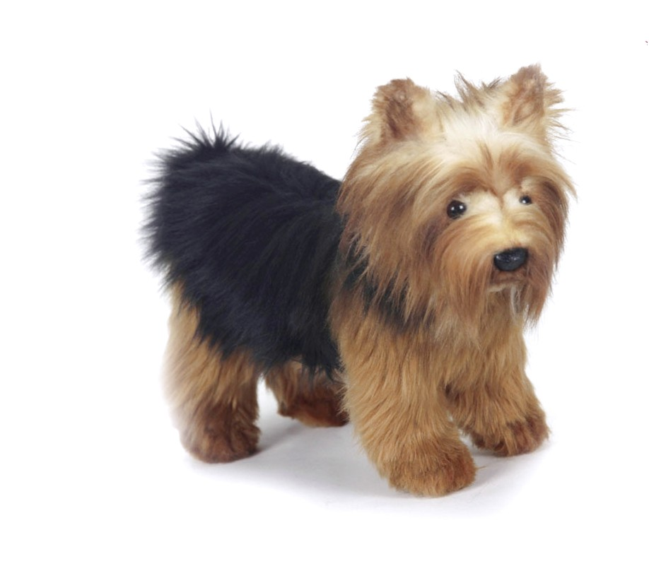 show me a picture of a yorkie terrier
