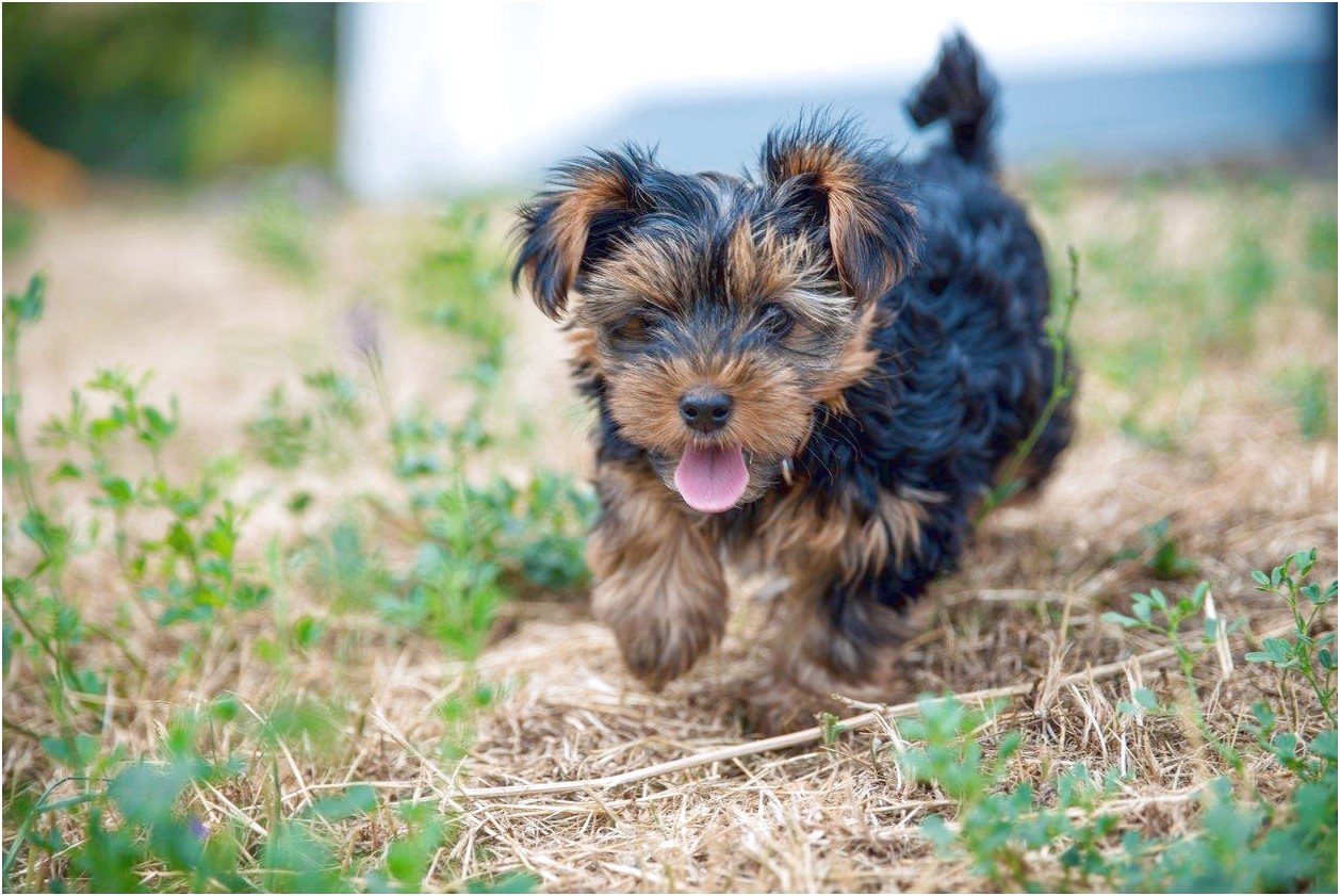 show me a picture of a yorkshire terrier