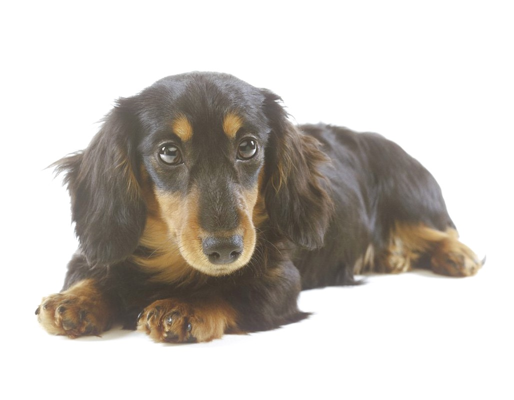 show me a picture of dachshund puppies