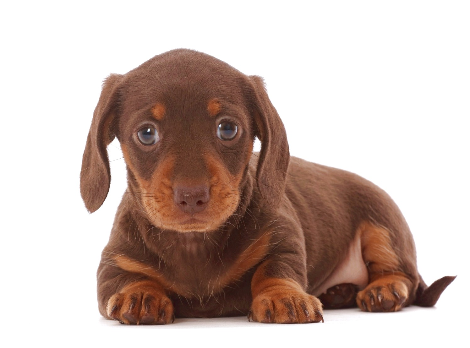 show me pictures of dachshund puppies