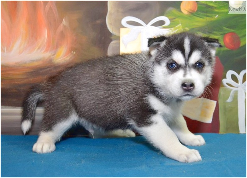 siberian husky puppies for sale fort wayne indiana