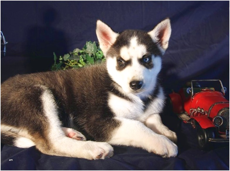 siberian husky puppies for sale fort worth texas