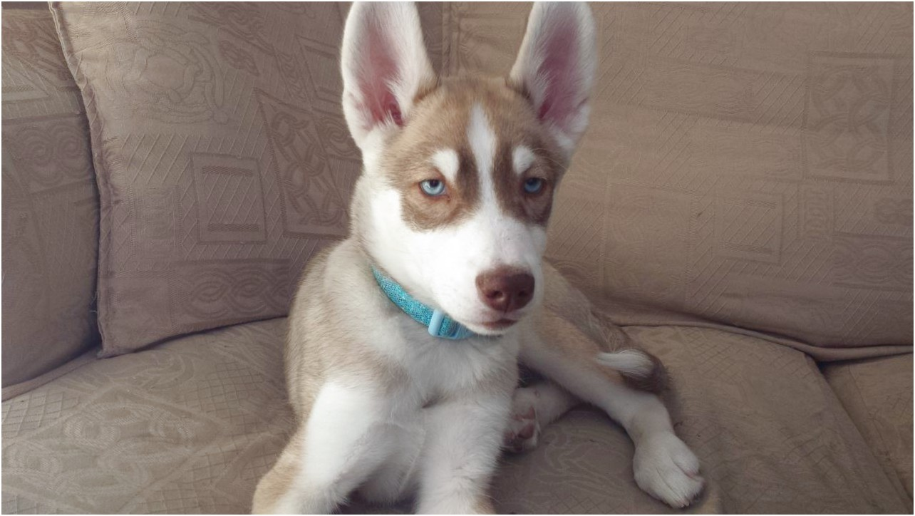 siberian husky puppies for sale glasgow