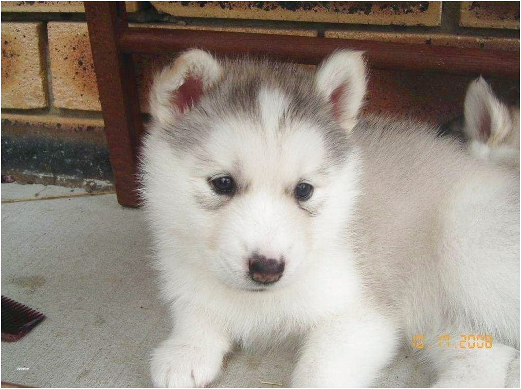 siberian husky puppies for sale gold coast