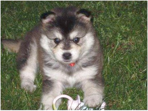 siberian husky puppies for sale nc