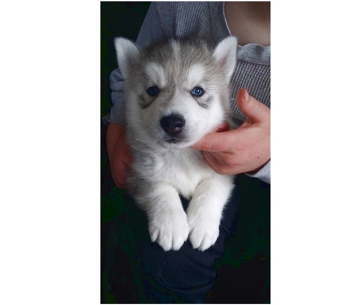 siberian husky puppies for sale vermont