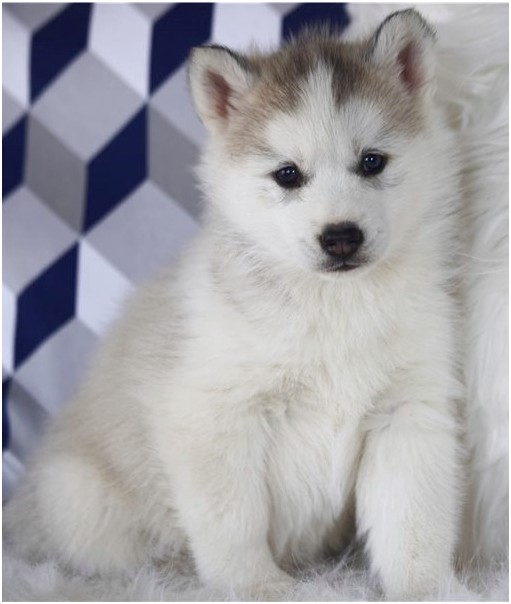 siberian husky puppies for sale vic