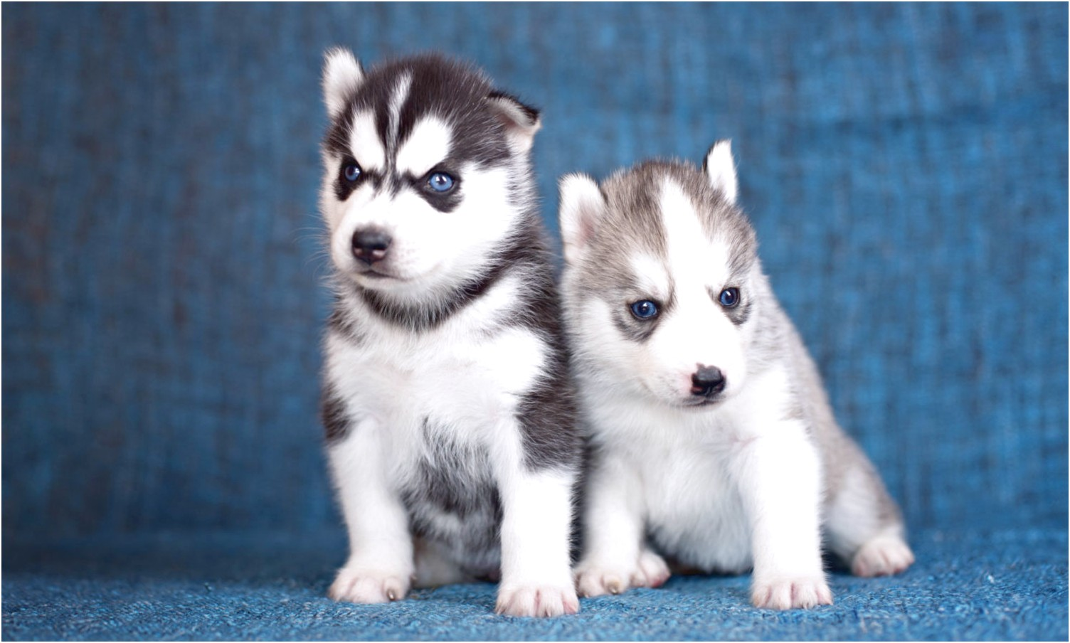siberian husky puppies for sale virginia
