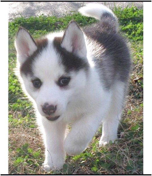 siberian husky puppies for sale wa
