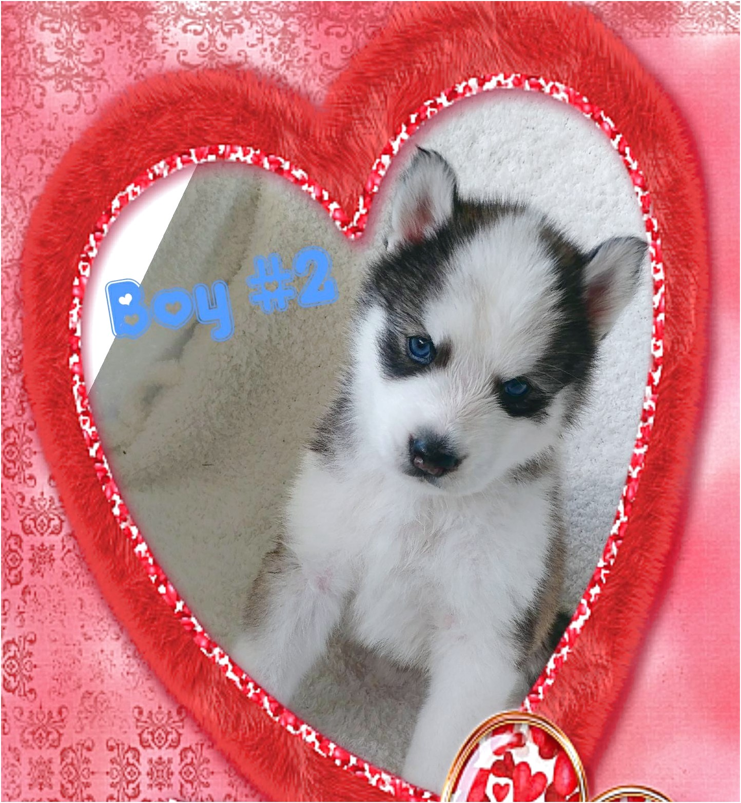 siberian husky puppies for sale wales
