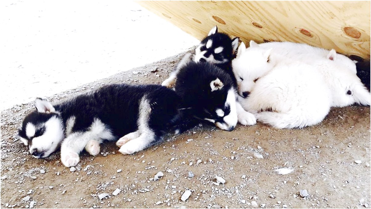 siberian husky pups for sale in virginia
