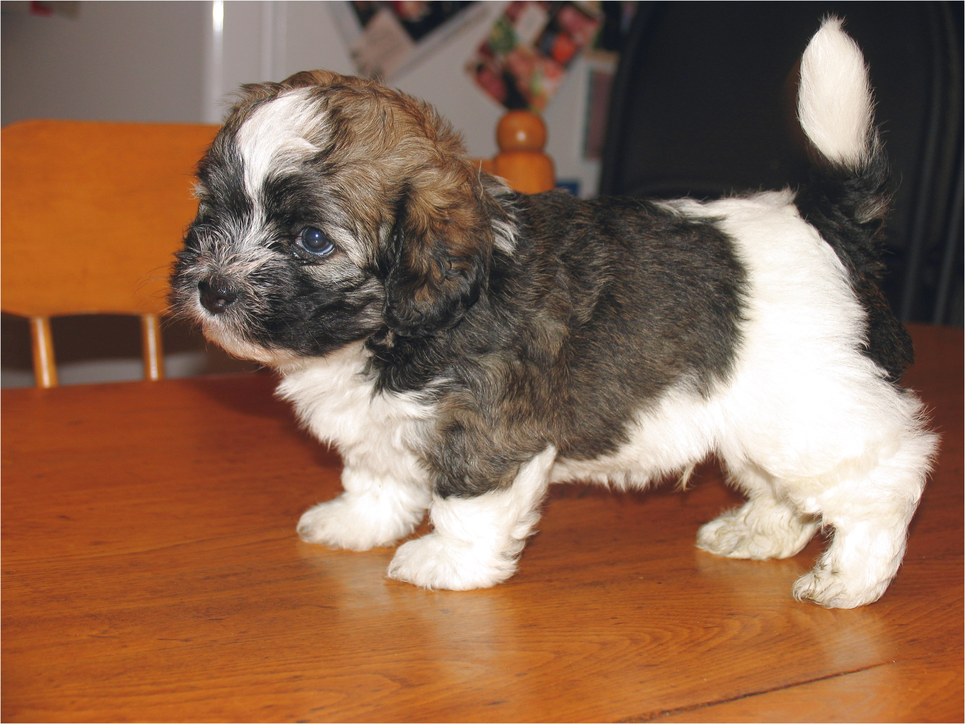 small dog breeds for sale alberta
