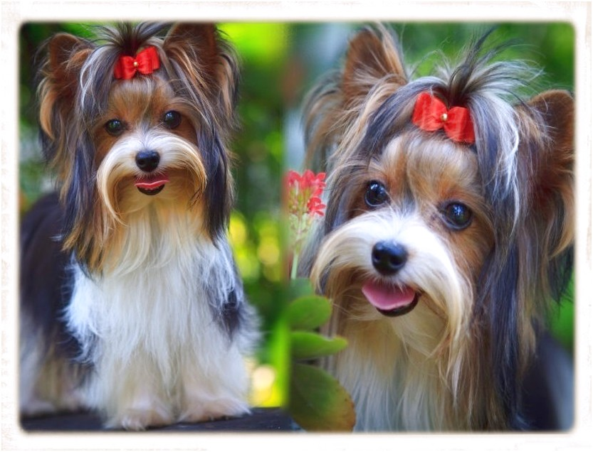 small dog breeds for sale cape town