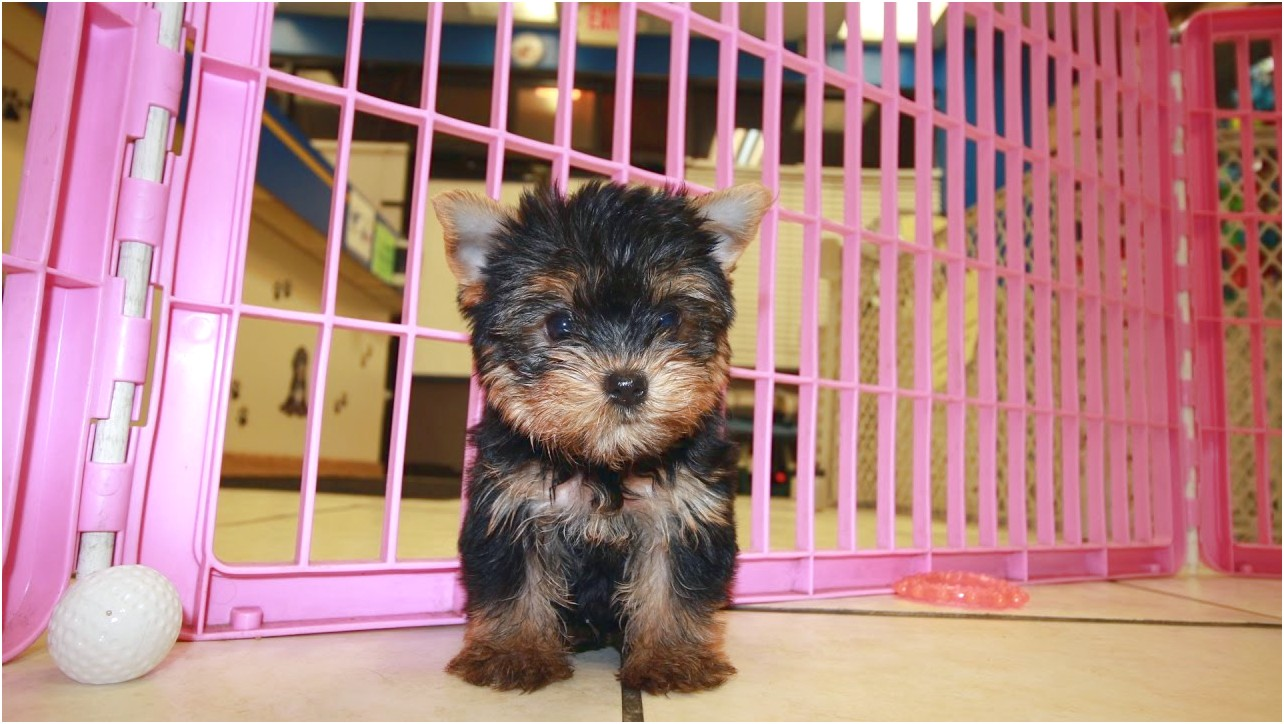 small dog breeds for sale in ga