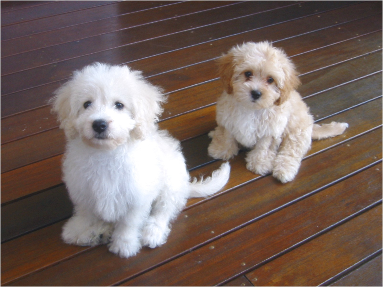 small dog breeds for sale qld