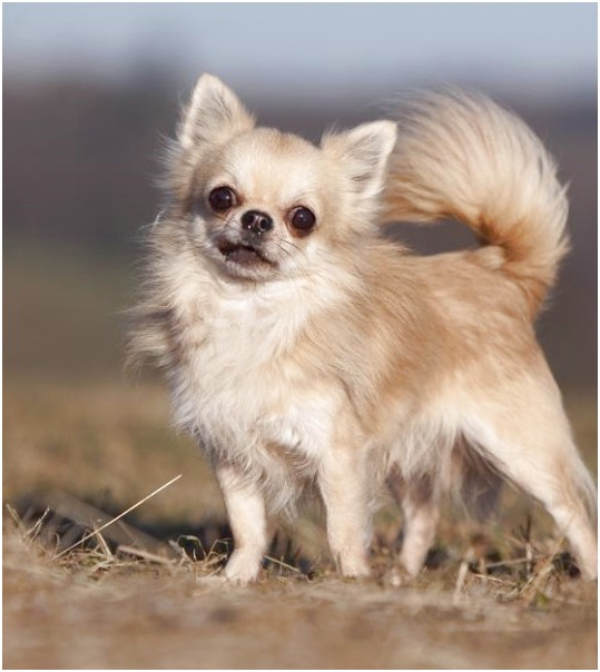 small dog breeds for sale wa