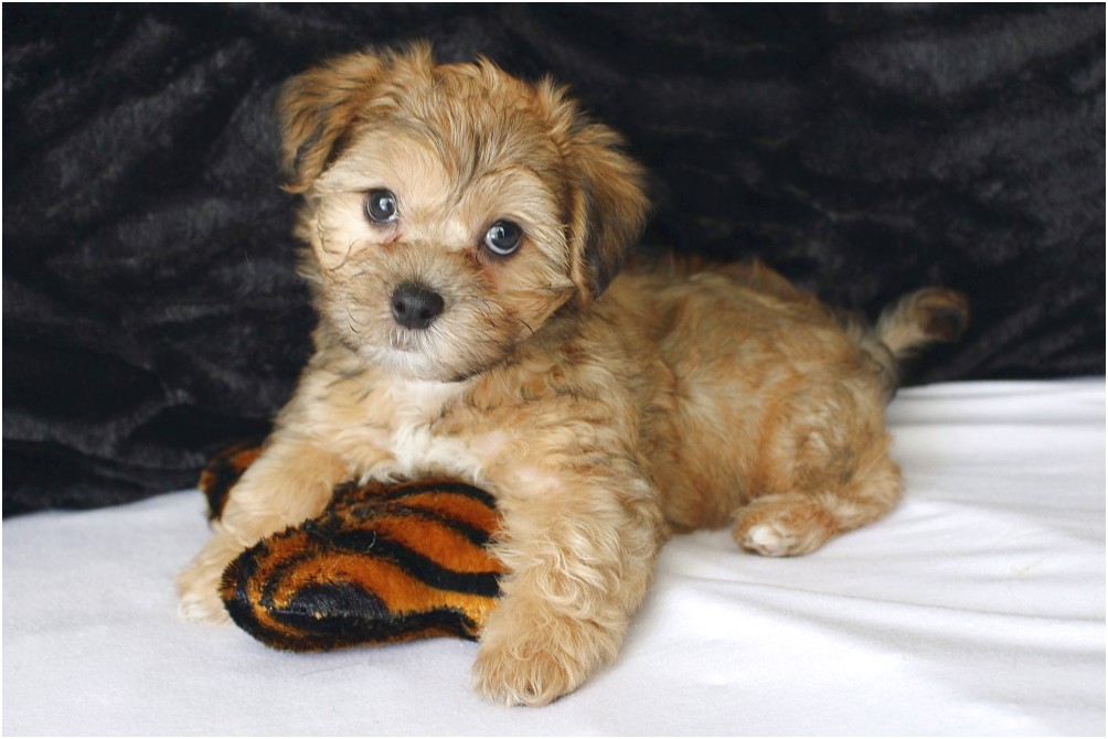 small hypoallergenic dog breeds for sale