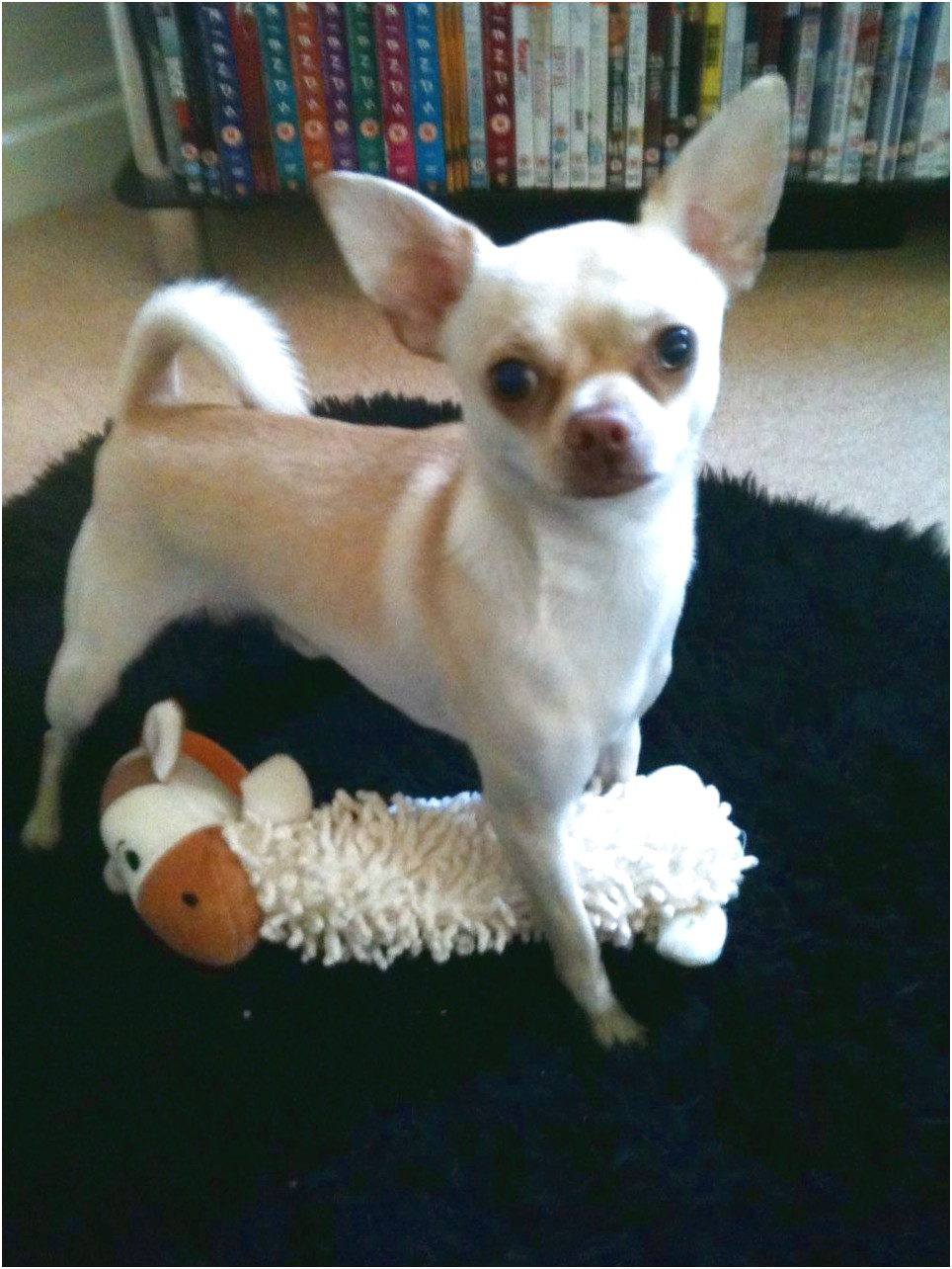 smooth coat chihuahua puppies for sale in cambridgeshire