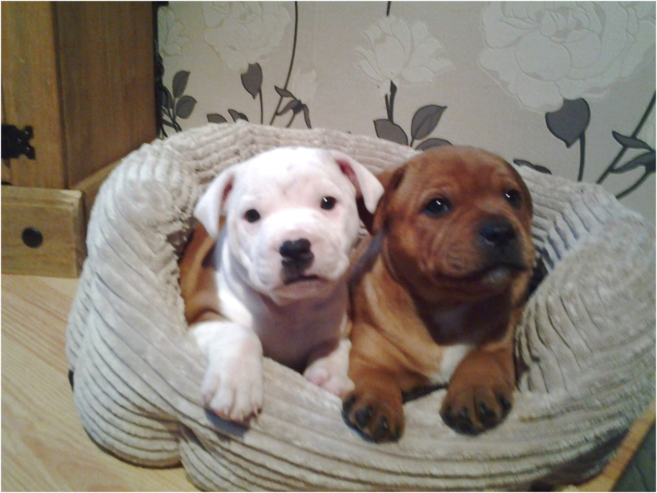 staffordshire bull terrier puppies adoption