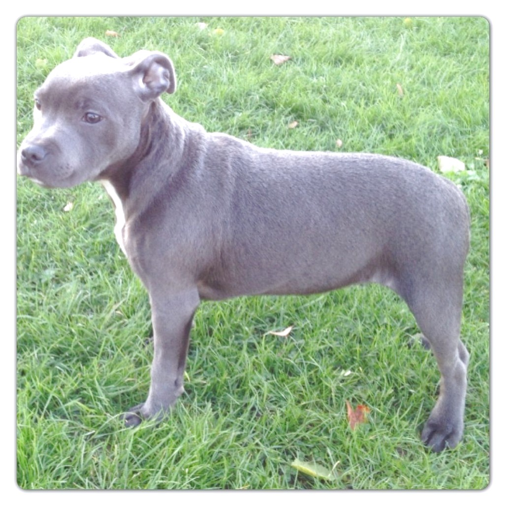 staffordshire bull terrier puppies for sale london