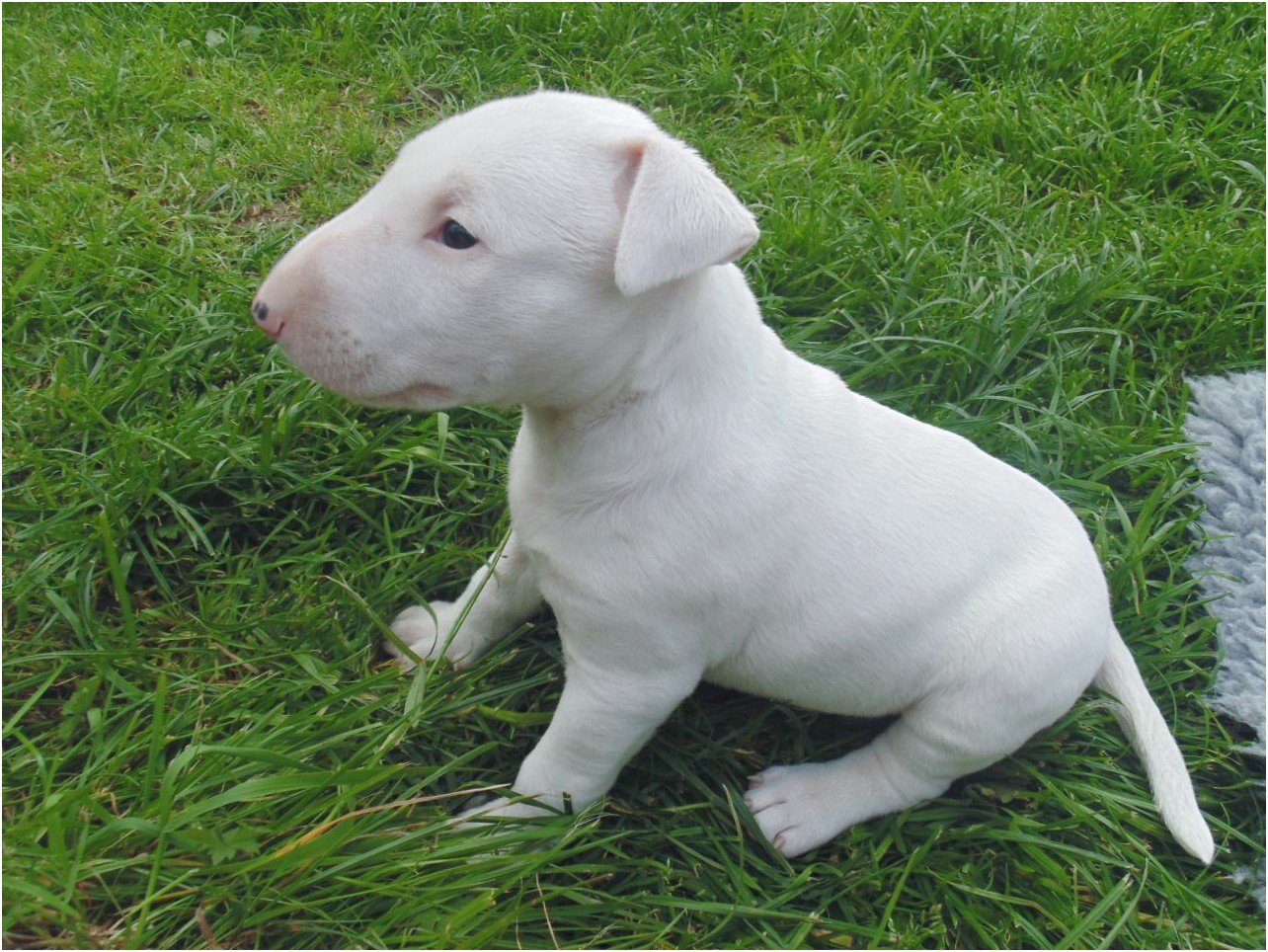staffordshire bull terrier puppies for sale ny