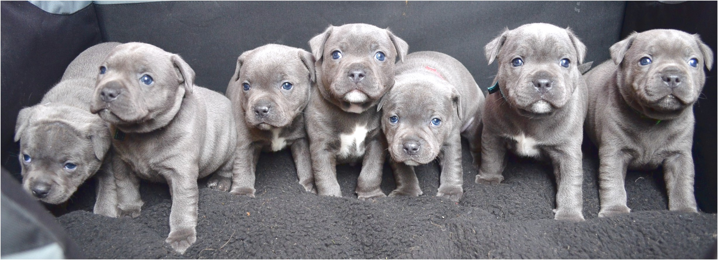 staffordshire bull terrier puppies for sale qld