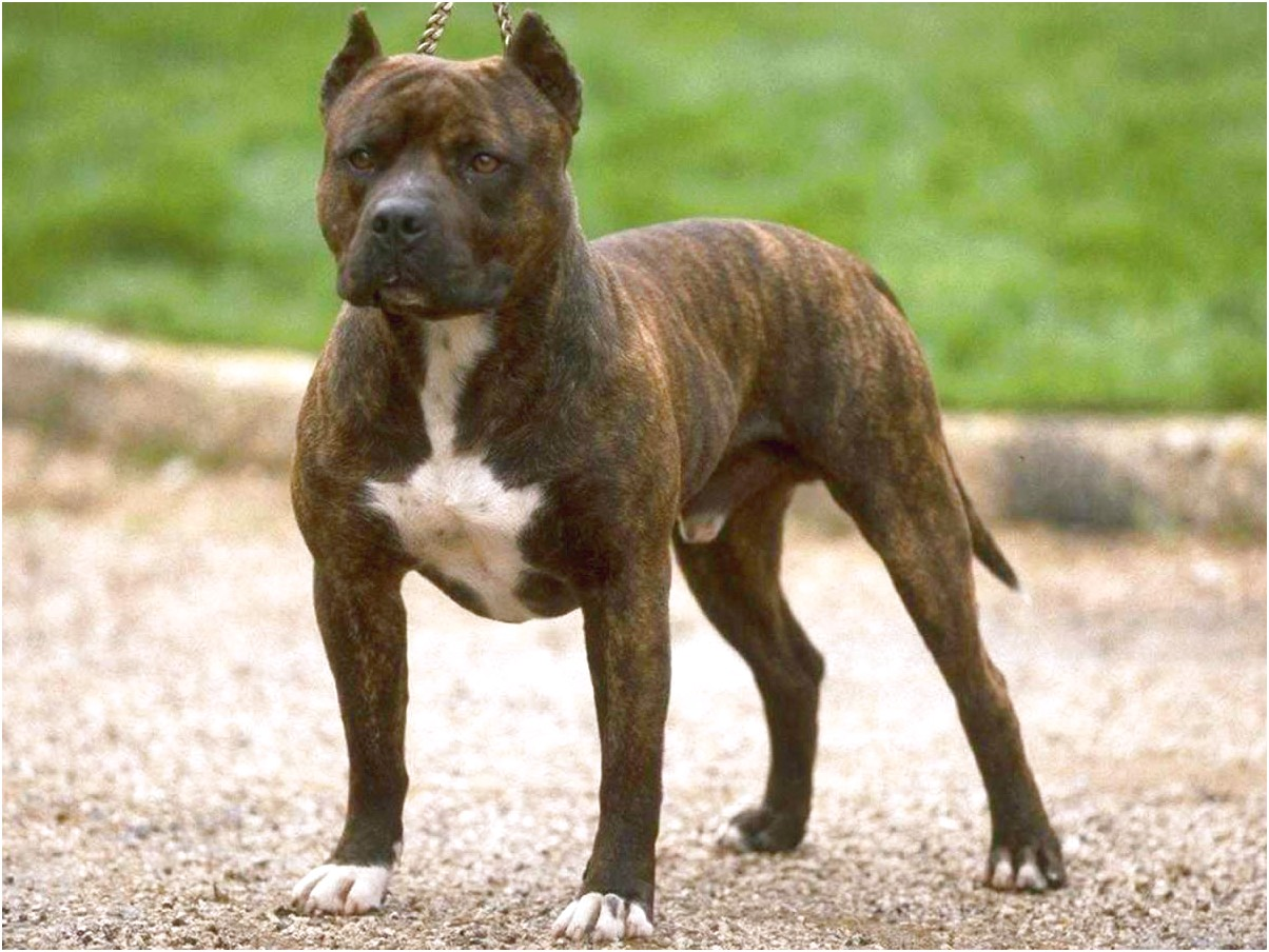 staffordshire bull terrier puppies for sale queensland