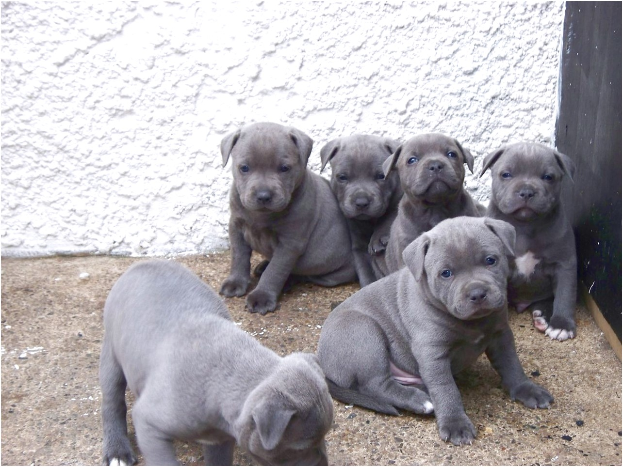 Staffordshire Bull Terrier Puppies For Sale Vic