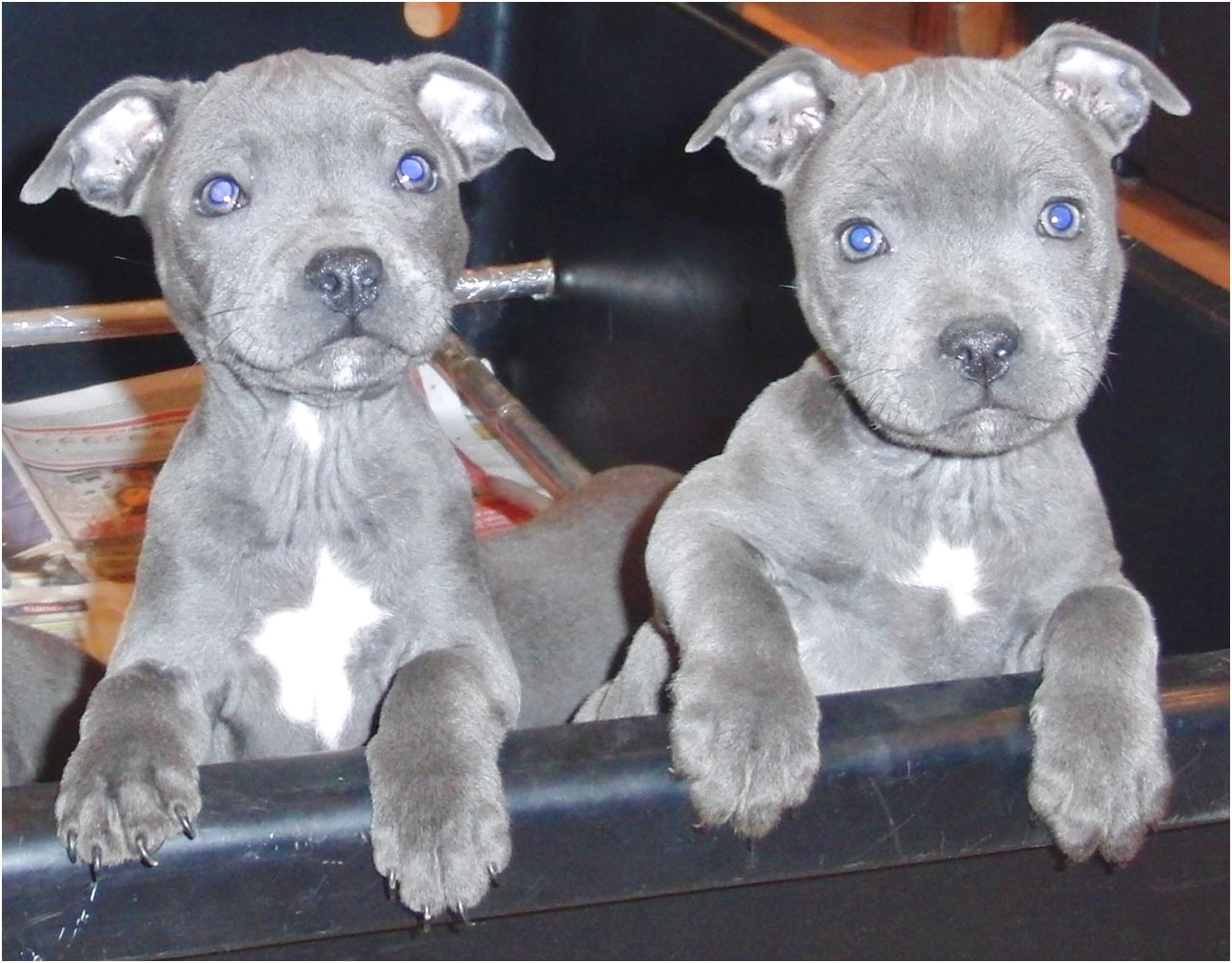 staffordshire bull terrier pups blue