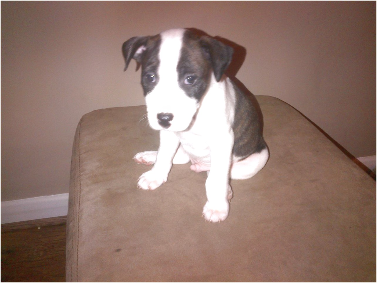 staffordshire bull terrier pups nottingham