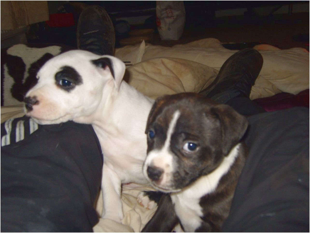staffordshire bull terrier pups yorkshire