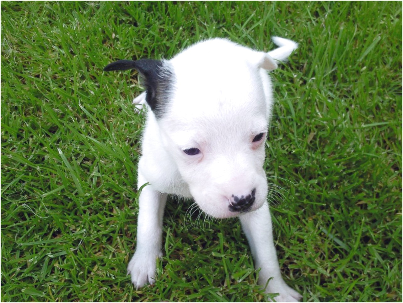 staffy x bull terrier pups for sale