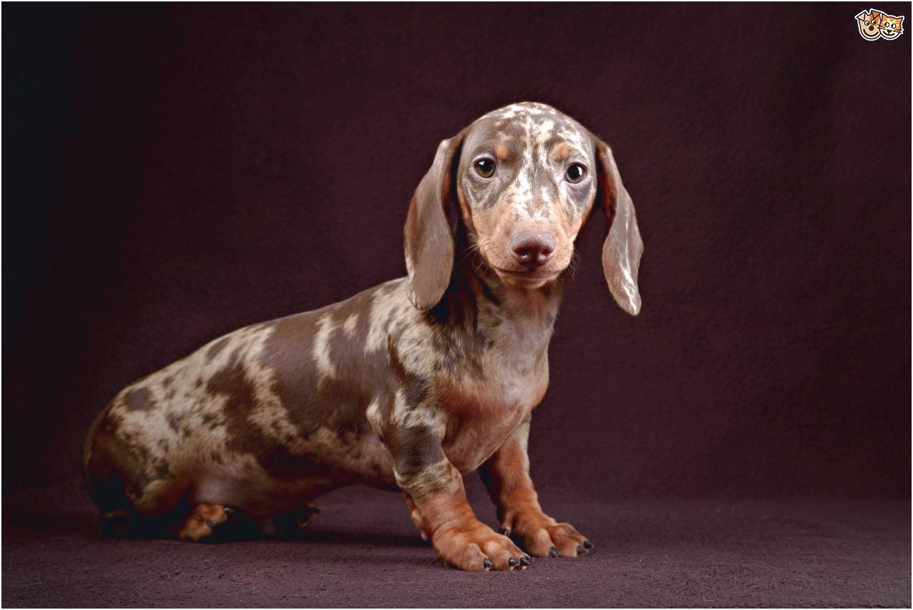 standard dachshund for sale near me