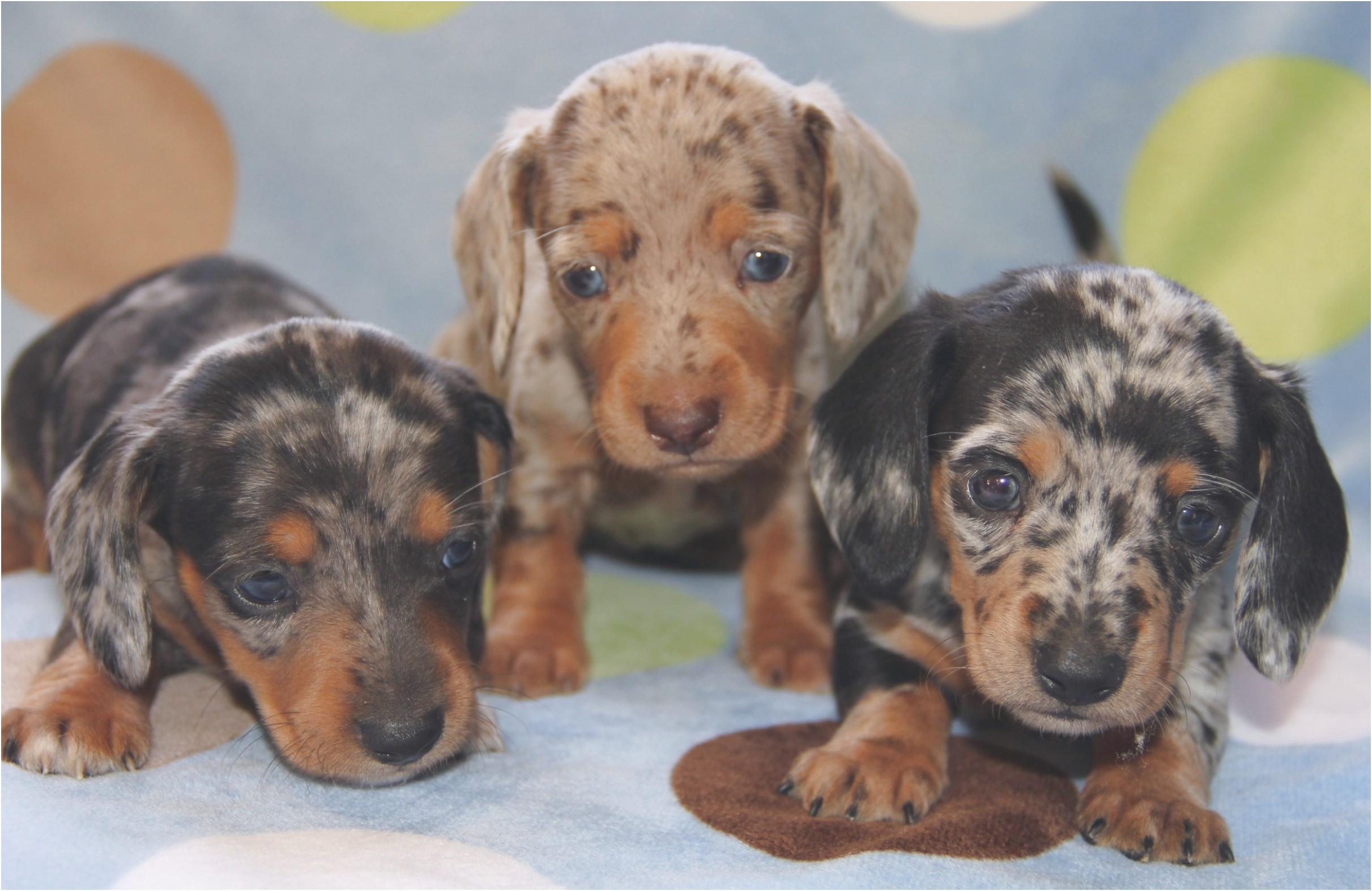 standard dachshund puppies for sale in ohio