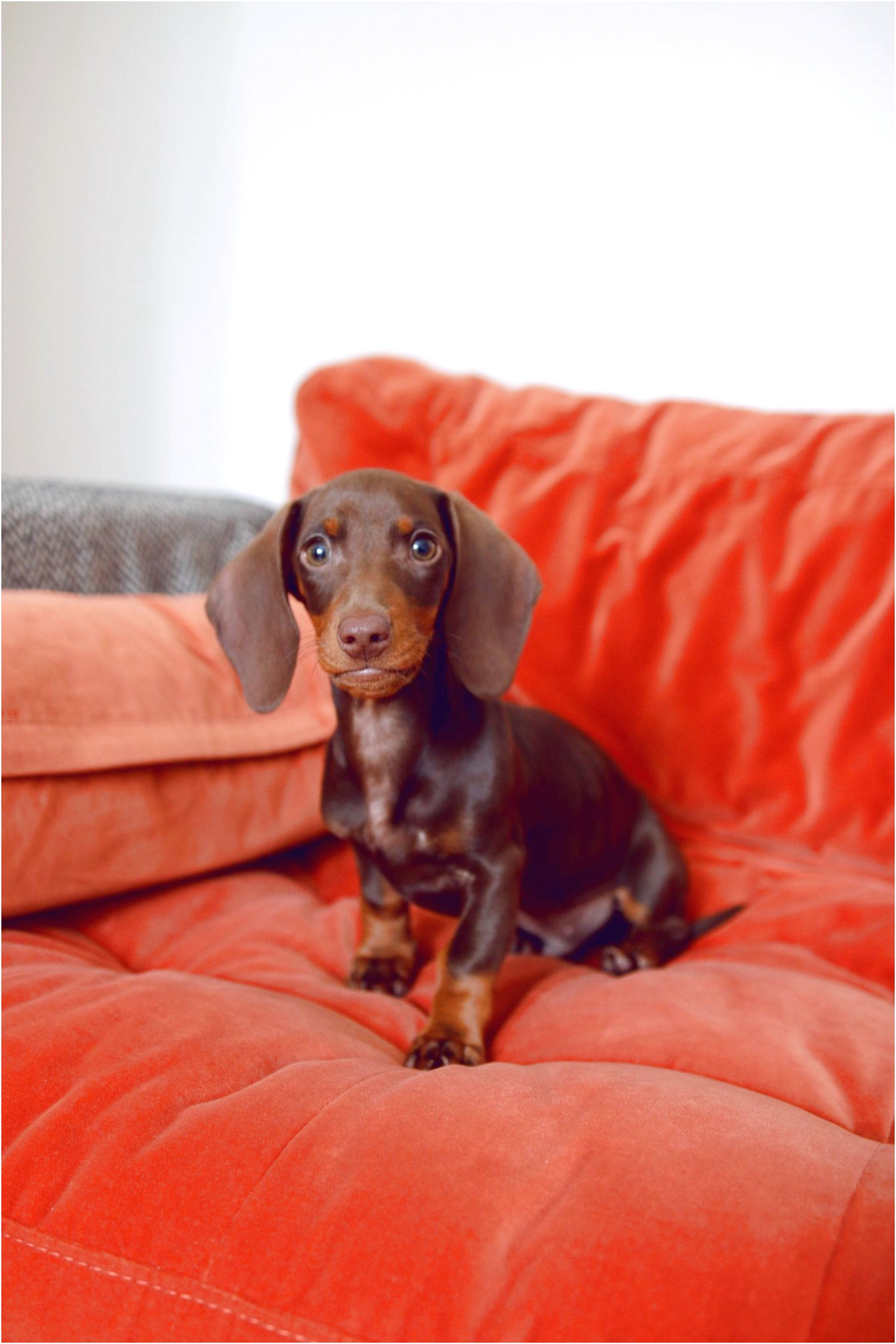 standard dachshund puppies for sale in pa