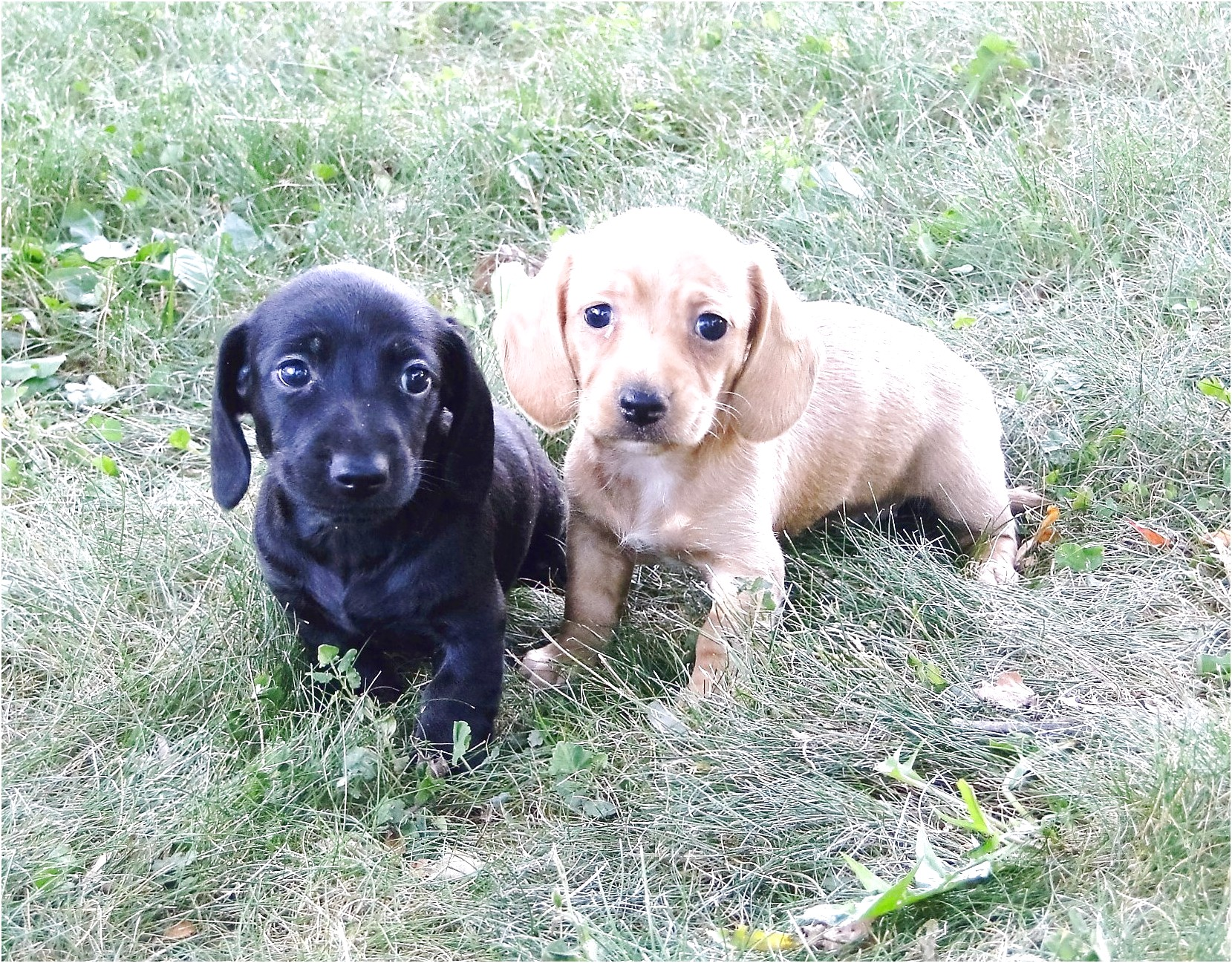 standard dachshund puppies for sale in texas