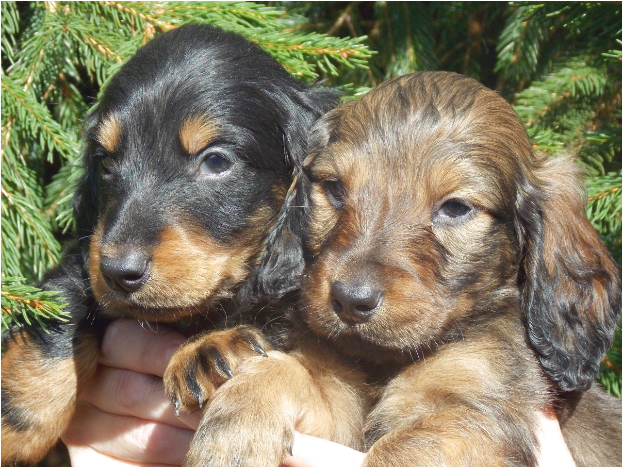 standard dachshund puppies for sale near me