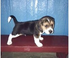 started beagles for sale in pa