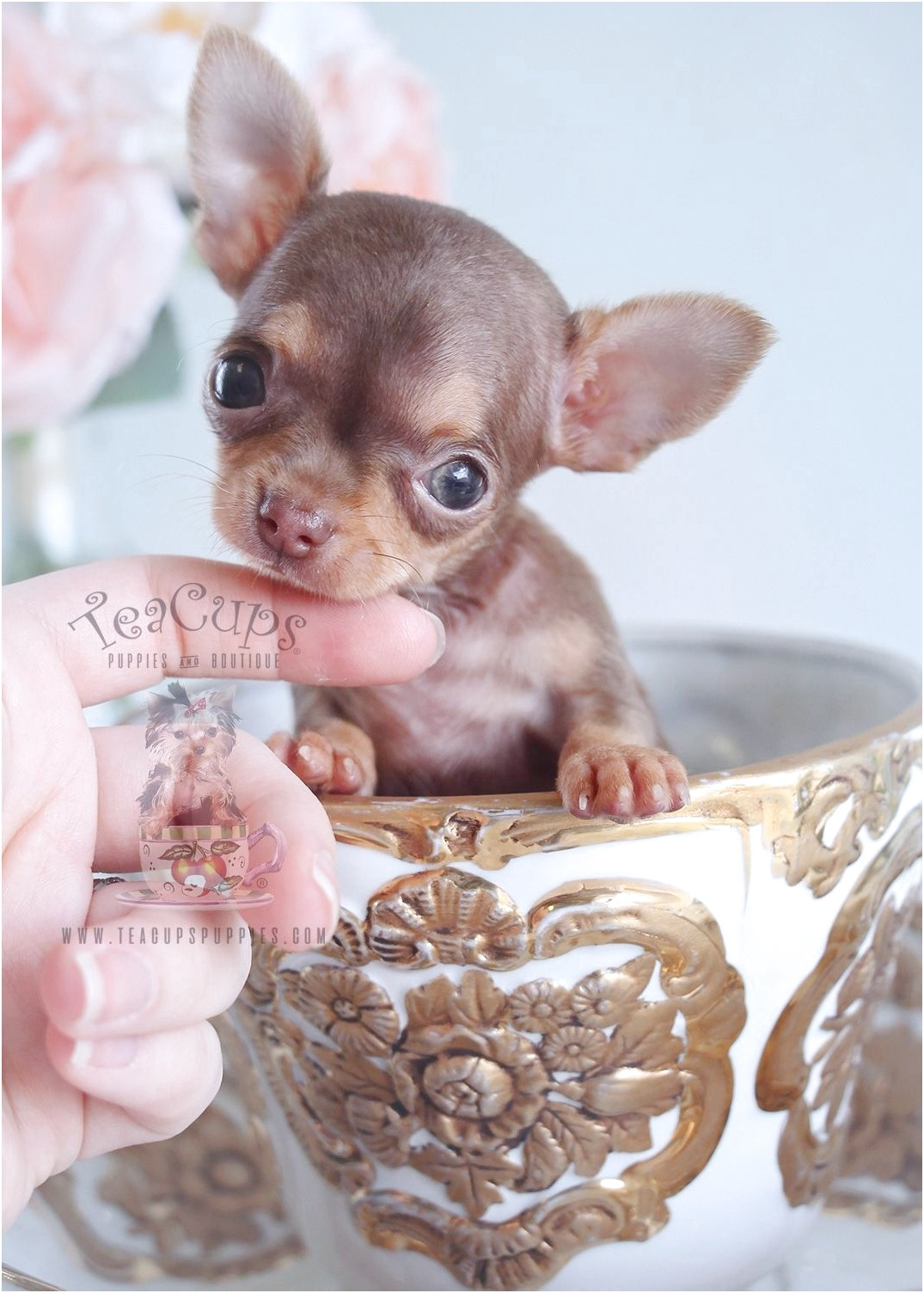 teacup applehead chihuahua puppies for sale florida
