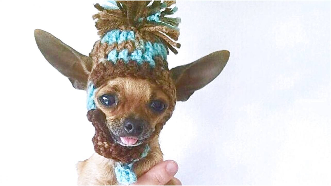 teacup chihuahua animal shelter