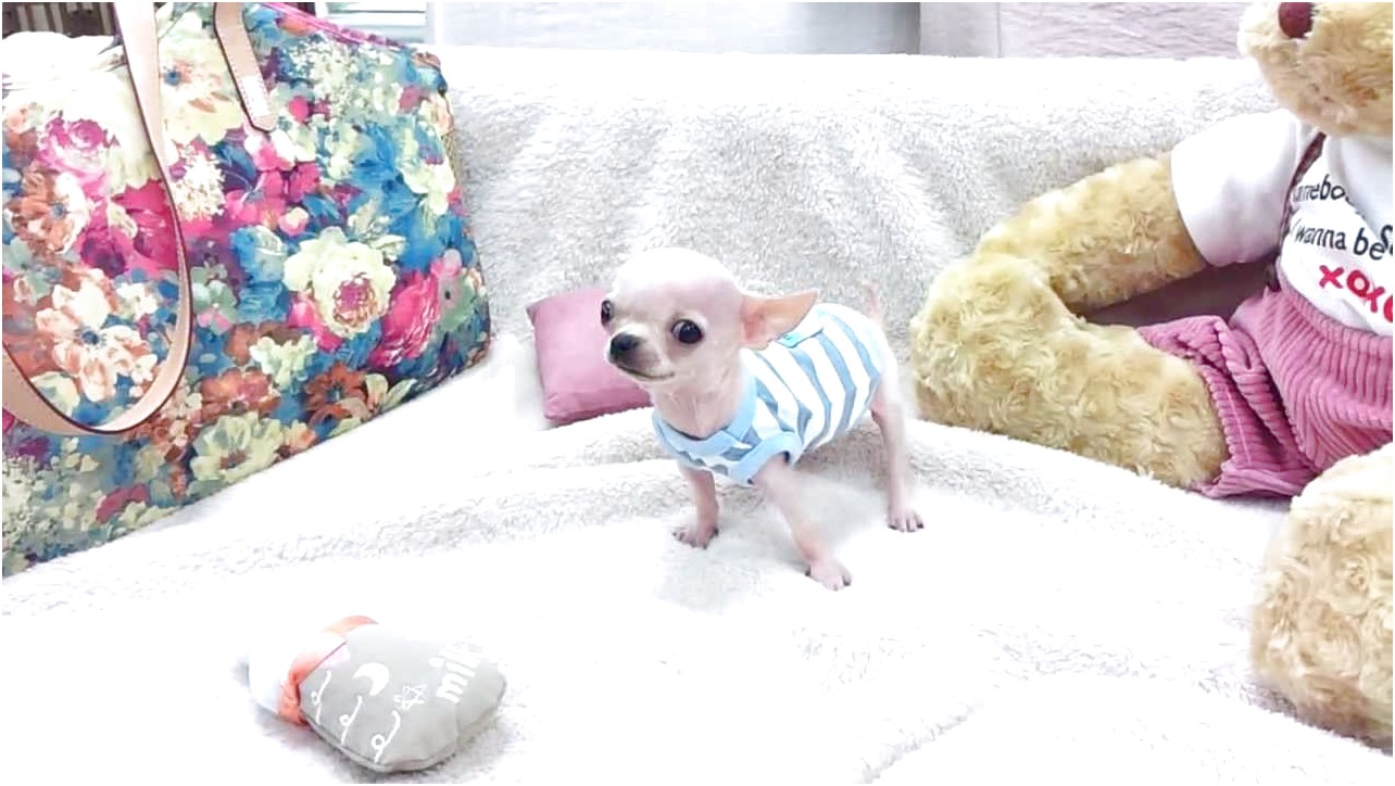 teacup chihuahua breeders in tn