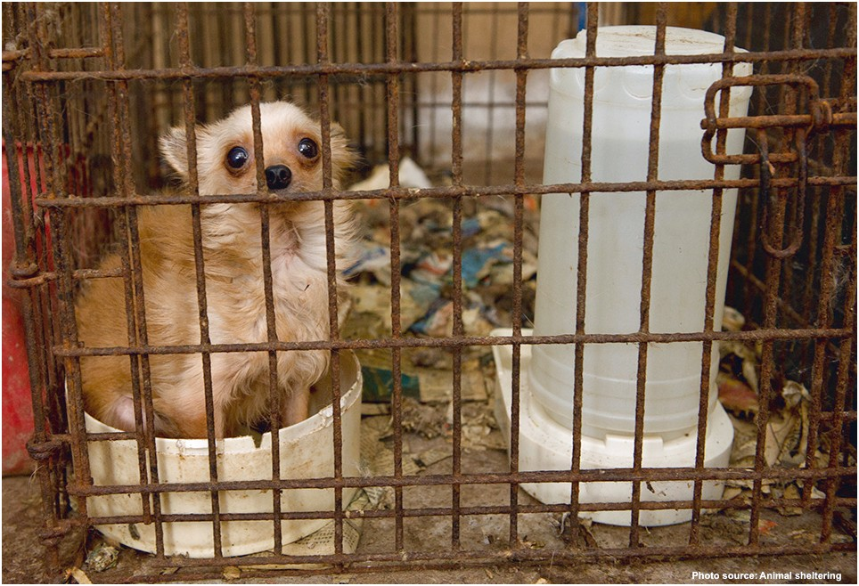 teacup chihuahua for adoption for free