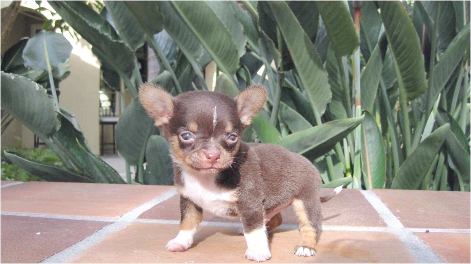 teacup chihuahua for adoption in california