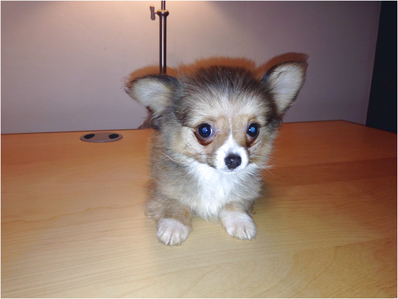 teacup chihuahua for adoption uk