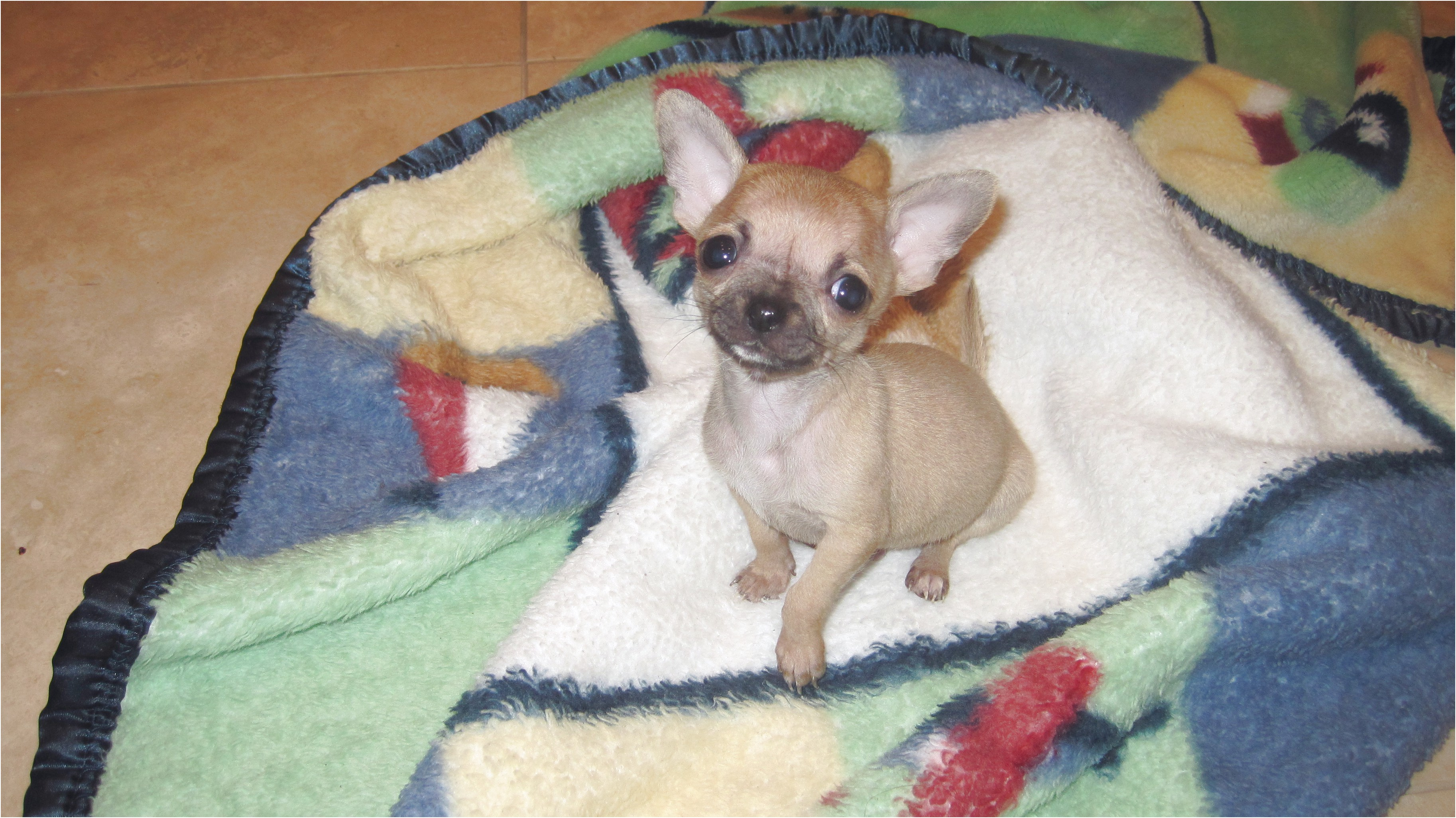 teacup chihuahua for sale clarksville tn