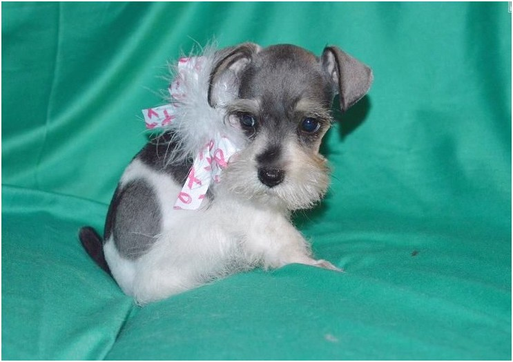 teacup chihuahua for sale in chattanooga tn